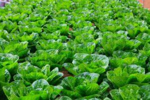 19468442-vegetables-hydroponics-farm-cameron-malaysia-stock-photo